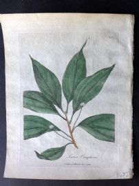 Woodville Medical Botany 1790's Hand Col Print. Laurus Camphora. Camphor Tree
